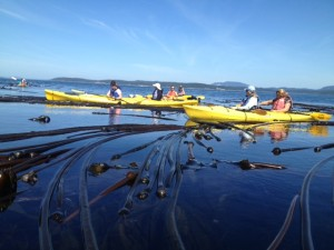 kelp bed, harvesting seaweed