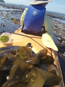 harvesting bull kelp